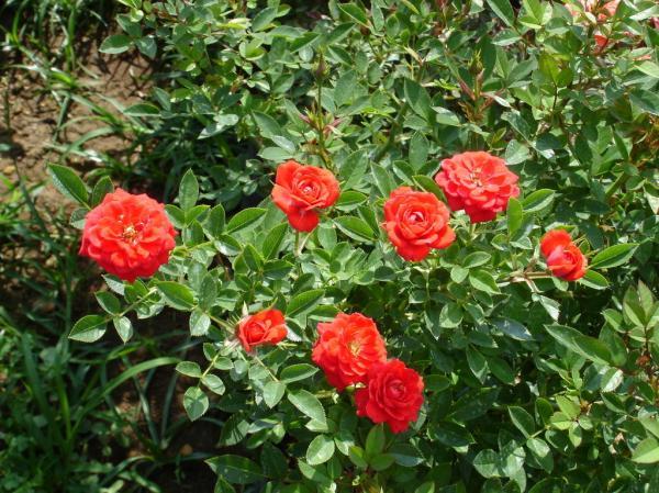 Miniroses wallpapers Roses wallpapers miniroses foto
