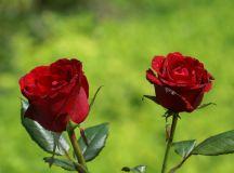 Belles Roses 1080p