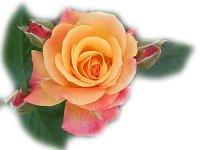 Colorful Roses Wallpapers