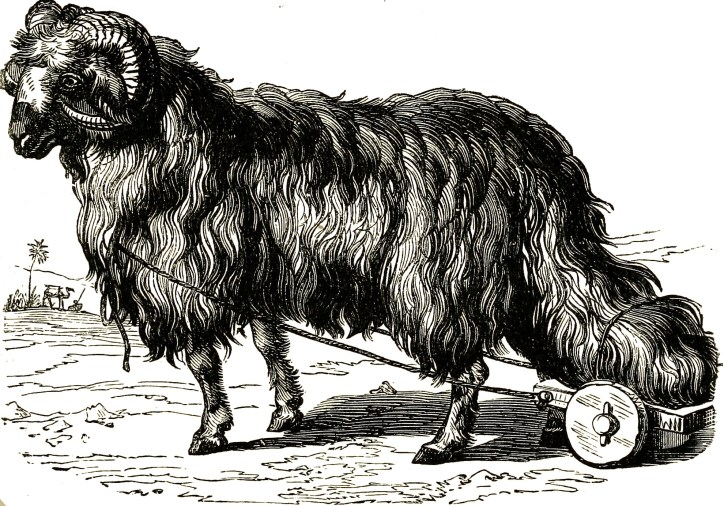 Heavy Tail Sheep