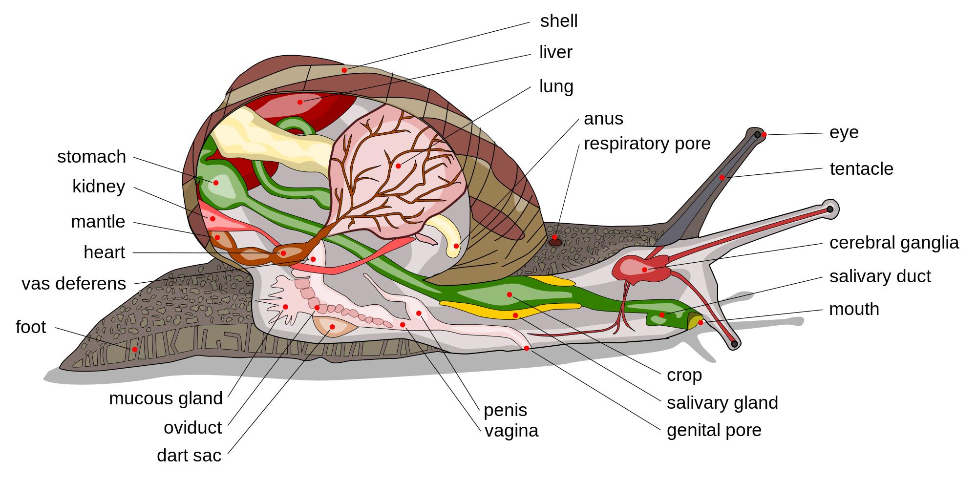 Slug And Snail Anatomy