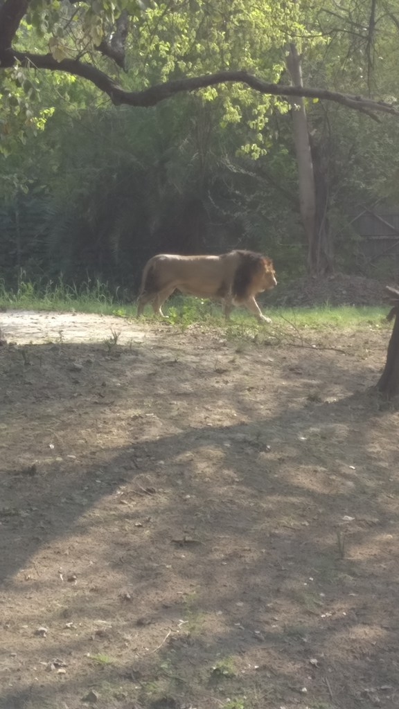 The lions at Delhi Zoo