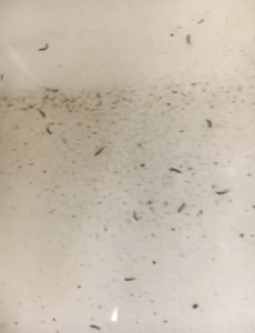 Little Black Worms are Drain Fly Larvae  All About Worms