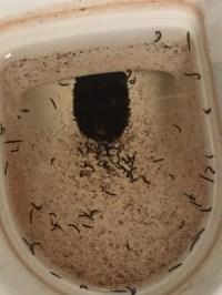 drain flies bathroom - 28 images - bathroom flies bite 28 ...