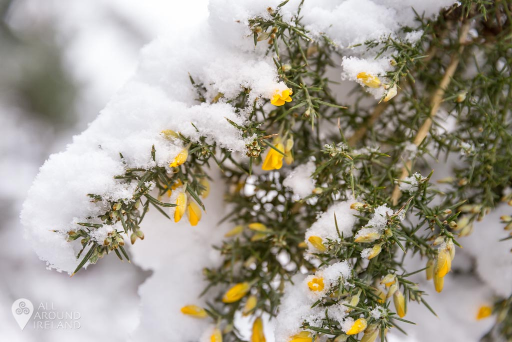 Snow covered gorse bushes in Portumna Forest Park