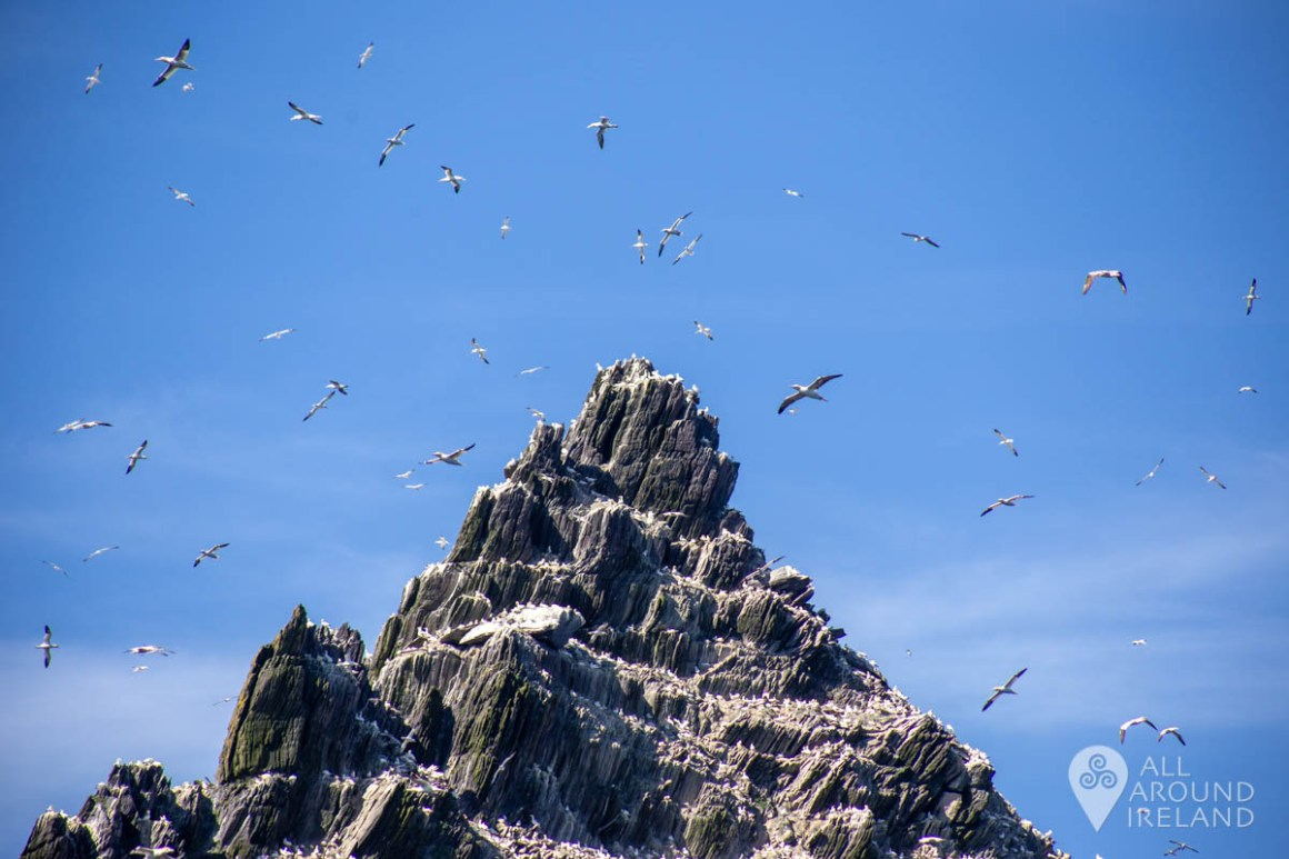 Gannets circle one of the peaks on Little Skellig island