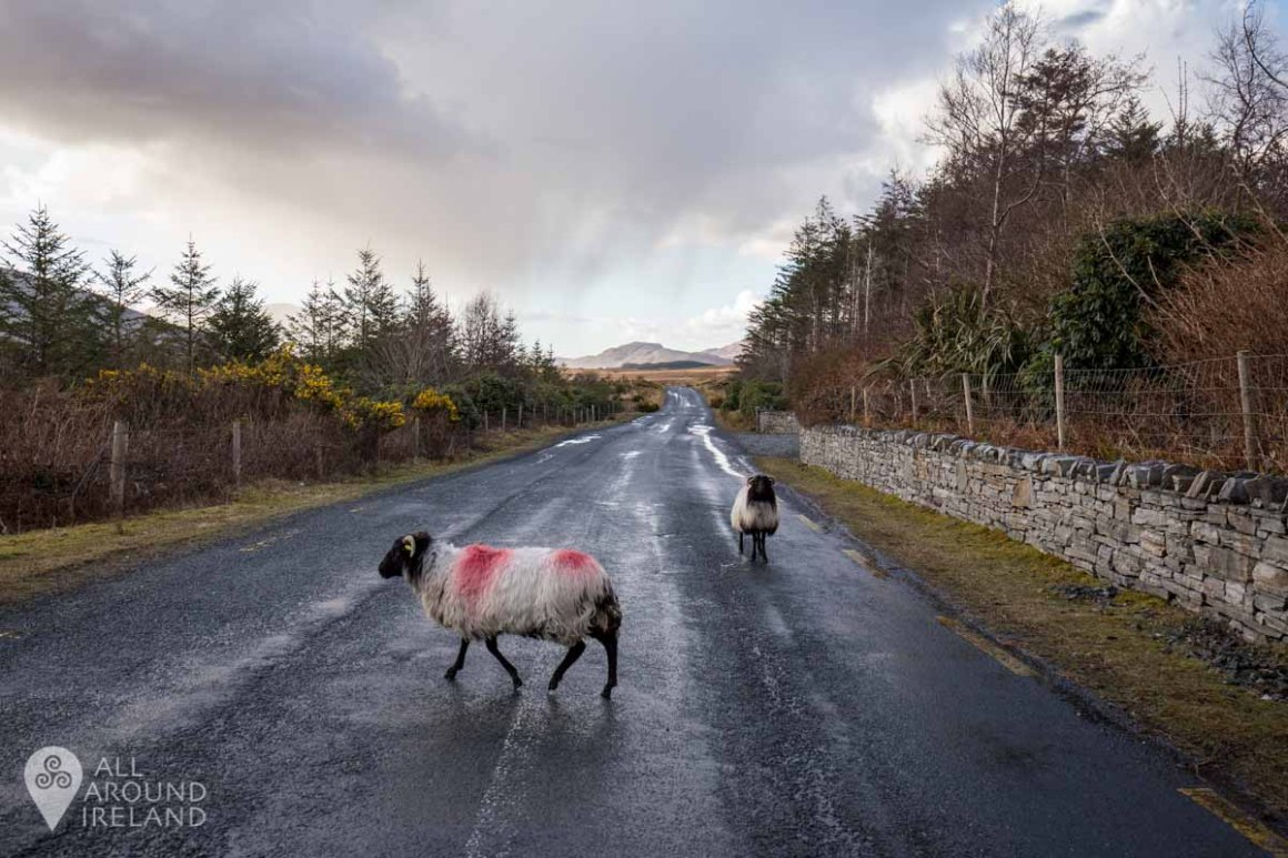 Sheep wandering the road outside the lodge