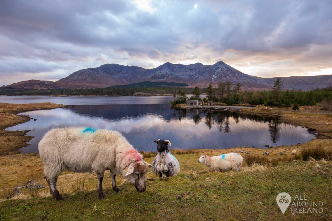 Sheep on patrol by Lough Inagh as the sun goes down.