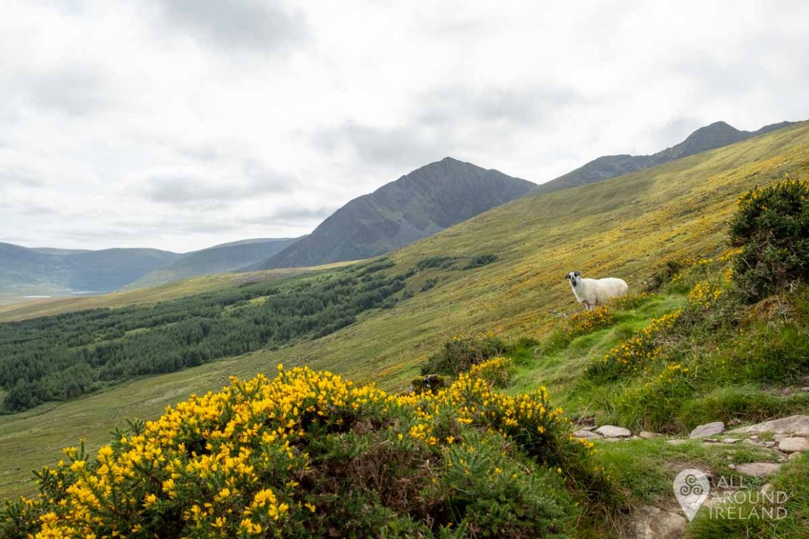 A lone sheep on the mountainside with a yellow gorse bush in the foreground.