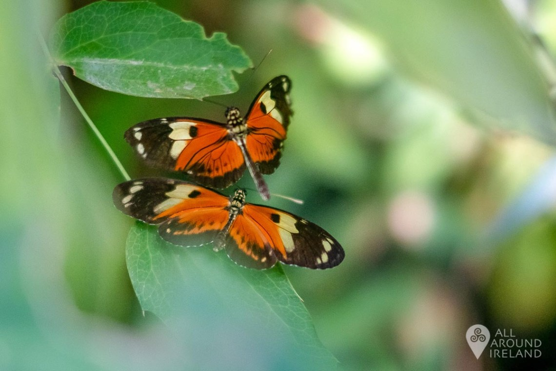Two colourful butterflies in the Butterfly House