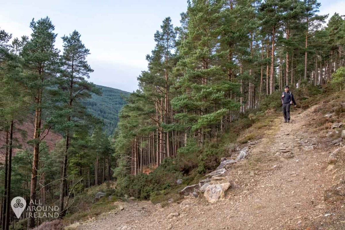 V bend on the Miner's Path trail with Scots Pine trees either side
