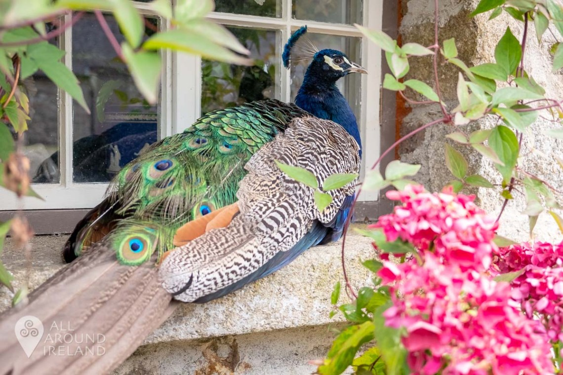 Percy the resident peacock at Huntington Castle, relaxing on a window sill in the courtyard.