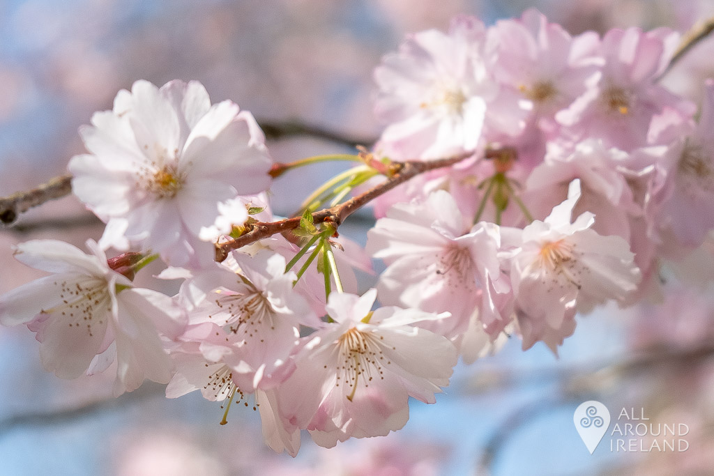 Close up shot of cherry blossom flowers on the trees at Birr Castle Gardens