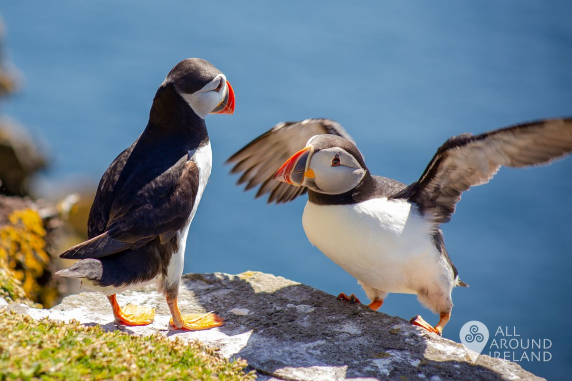 One puffin looks towards another who has landed on the edge of a rocky ledge beside it - Unique things to do in Ireland