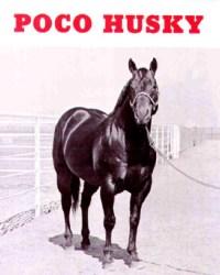 Poco Husky Quarter Horse