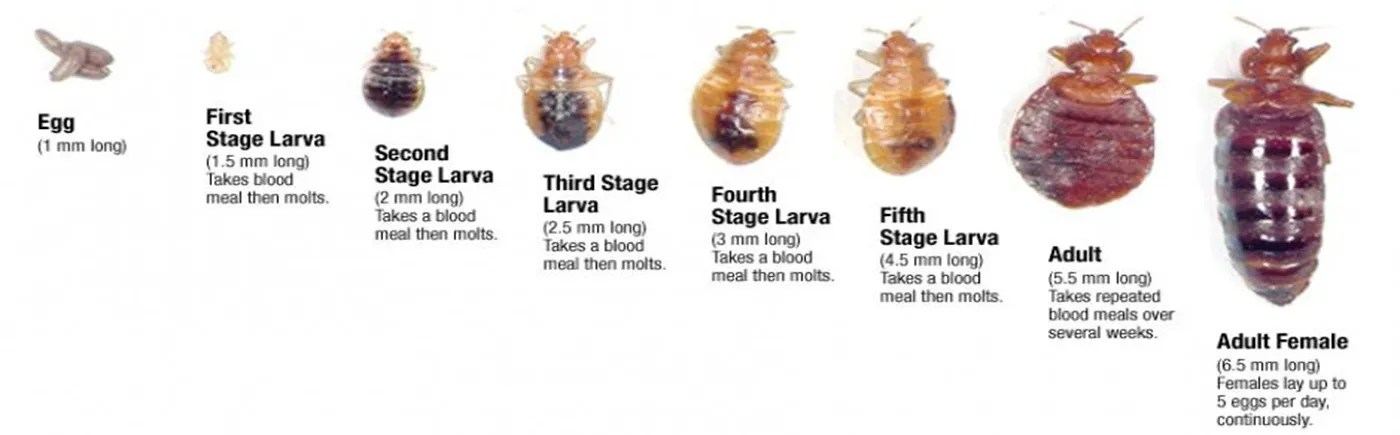 How Long Can Bed Bugs Survive Without Food