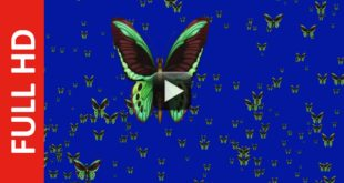 Flying Green Butterfly Blue Screen Background Video