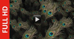 Peacock Feather Background Video