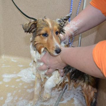 groom dog as a puppy