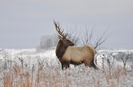 The wild elk herd in Elk County, Pennsylvania drew over 300,000 visitors last year. Photo: John Hast / Conservation Fund