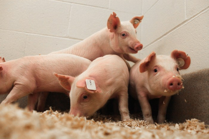 The University of Missouri and Kansas State University recently developed pigs resistant to a deadly virus that costs the U.S. pork industry millions annually. Photo: Courtesy University of Missouri
