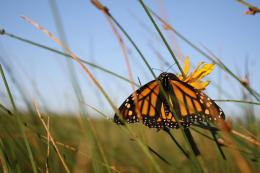 A monarch butterfly takes on a rest on the Kentucky prairie. Monarch numbers are down more than 80 percent from their 20-year average. Photo: U.S. Fish and Wildlife Service