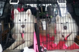 Musher Beth Tallentire's Samoyeds hang tight before hitting the trail. Photo: Kara Holsopple