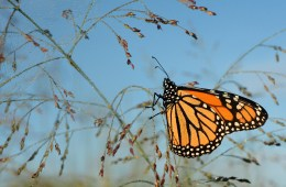 A monarch butterfly lands on a blade of switchgrass in Michigan. An environmental group is trying to get monarchs listed on the federal Endangered Species List. Photo: Jim Hudgins / U.S. Fish and Wildlife Service