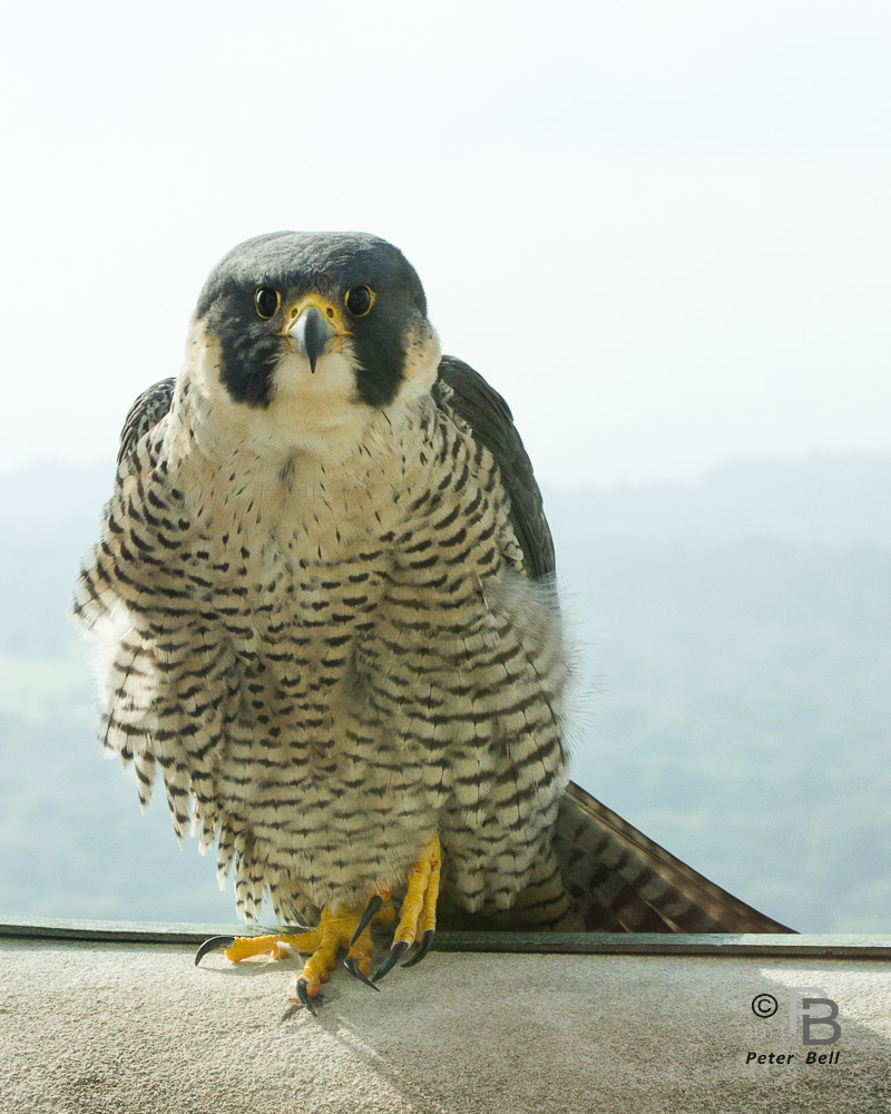Dorothy, Pittsburghers' beloved peregrine falcon, pictured here, nested at the Cathedral of Learning for 14 years. She disappeared in November 2015 and her longtime mate, E2, died in March 2016. This spring, a new pair—Hope and Terzo—have taken over the nesting site at the Cathedral of Learning. Photo: Peter Bell