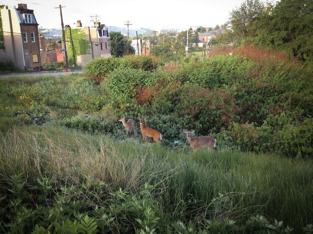 Deer stalk the fields around Pittsburgh's Middle Hill neighborhood, just a stone's throw from the busy Strip District. Photo: Steve Elgersma via Flickr