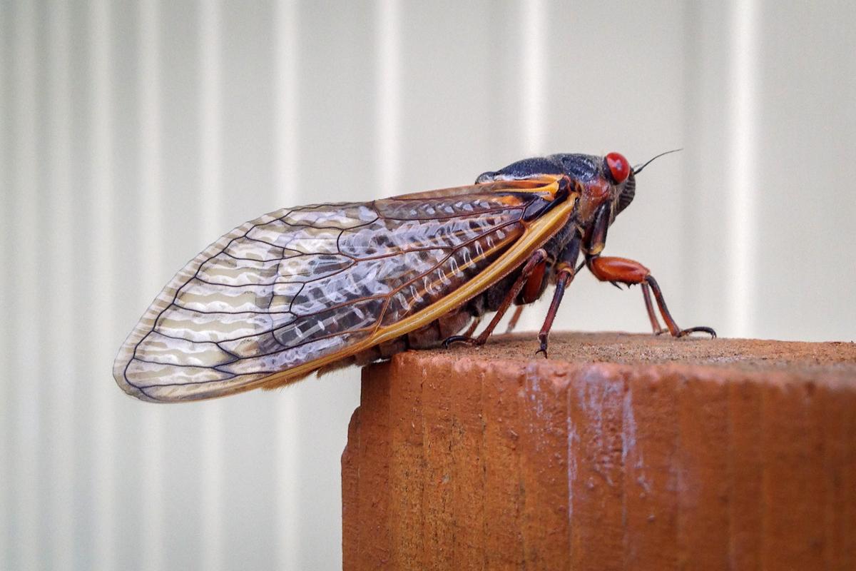cicada7-2