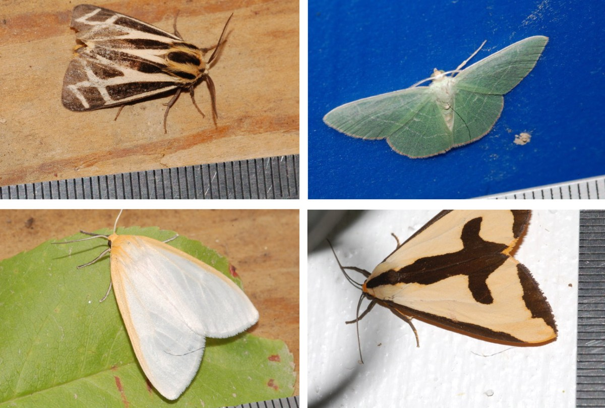 A few of the moths that have been lured in for a photo shoot by Ryan Utz and his students at Chatham University. Photo courtesy Chatham University