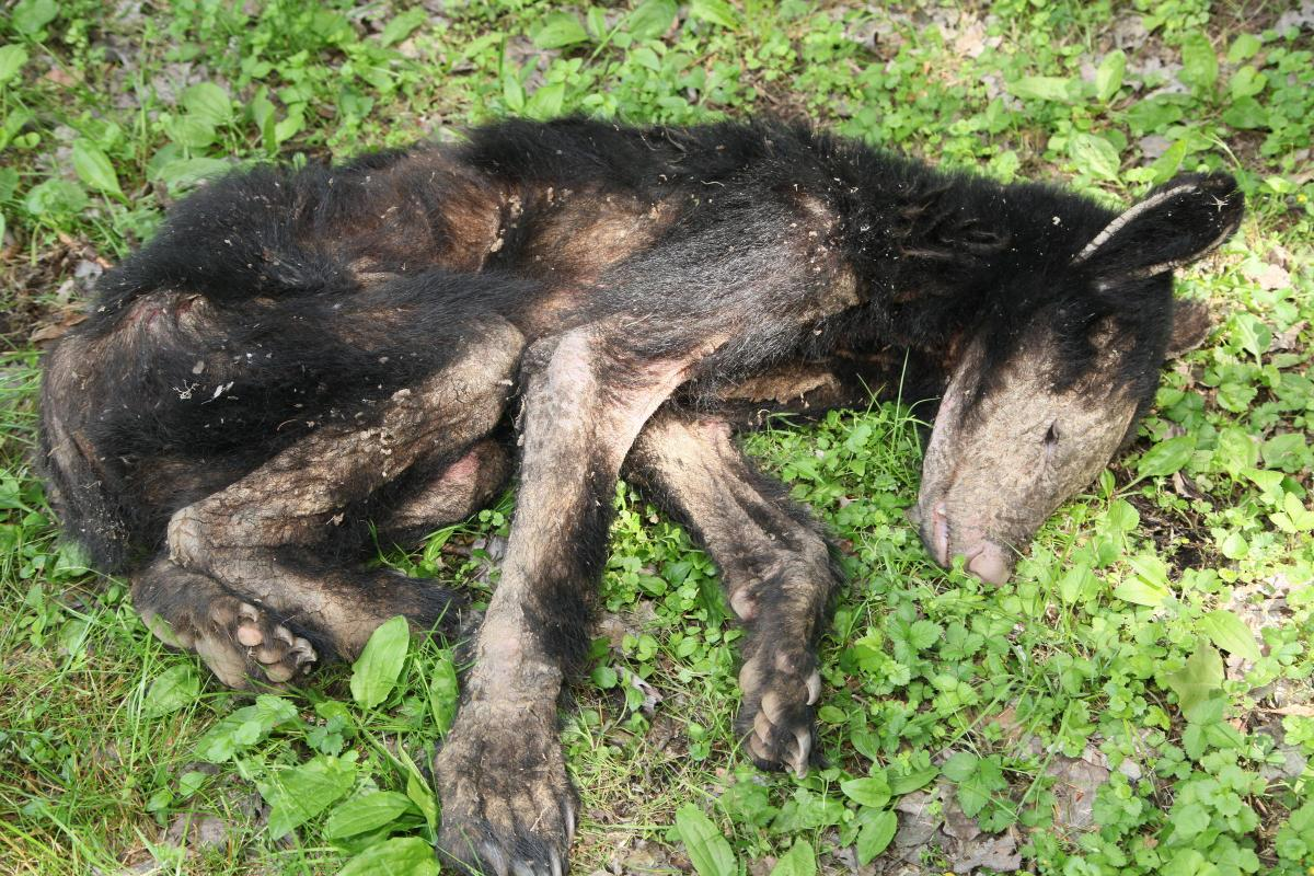 Why are Pennsylvania Bears Getting Mange? - The Allegheny Front