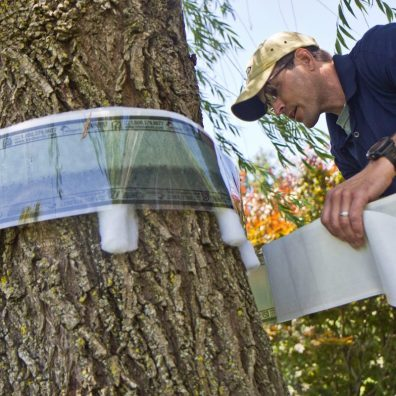 Photo from 2018, David Paar, owner of Arborescence in Montgomery County, bands a willow tree to trap lanternflies in their early life stages. Photo: Kimberly Paynter /WHYY