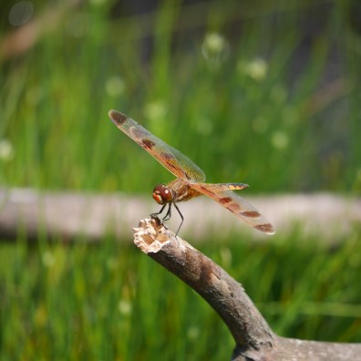 One of the many species of dragonflies at the bog. Photo: Kara Holsopple