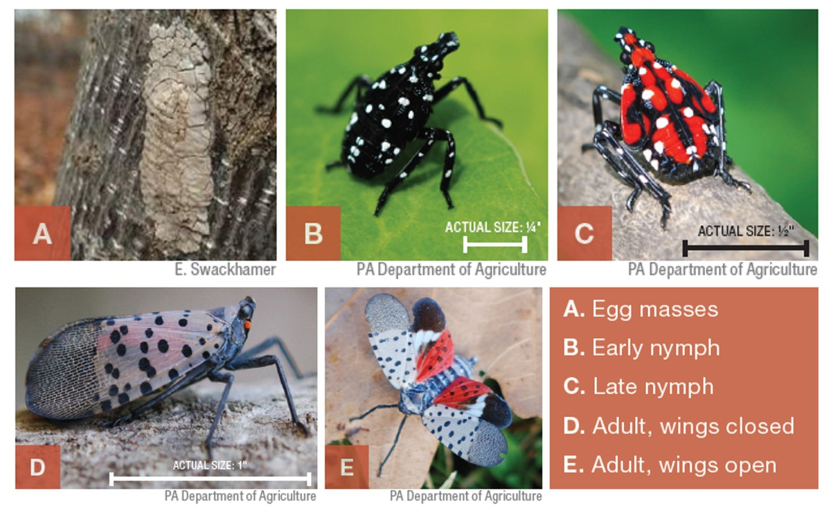life cycle of Spotted Lanternfly