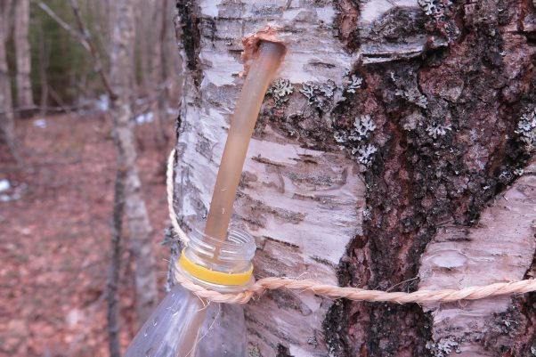 Tapping a birch tree