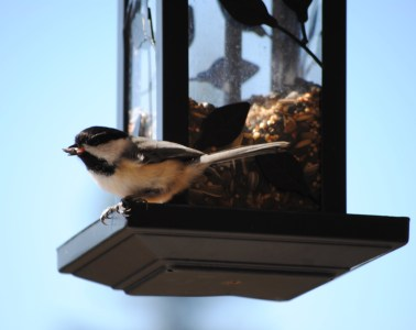 chickadee on a feeder