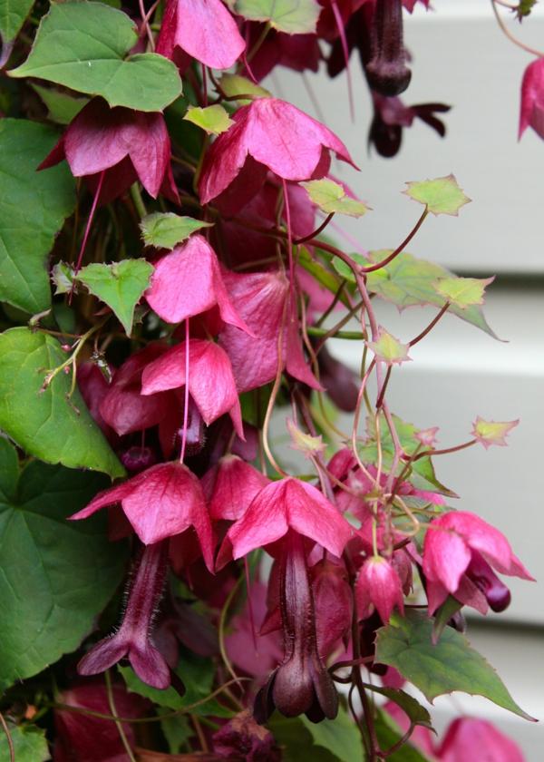 Exotische Pflanzen Ideen  Goldtrompete oder Purpurglckchen