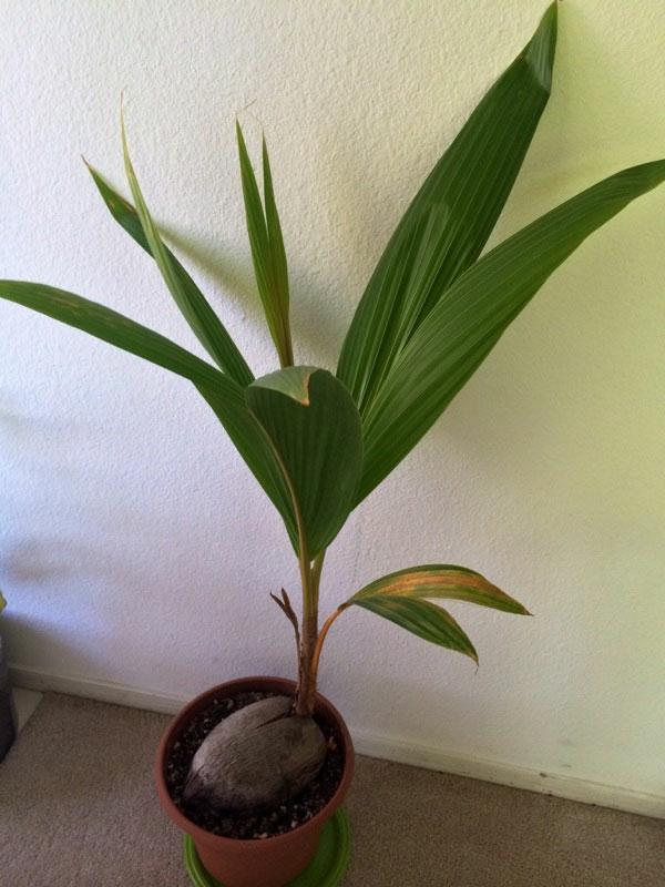 Kokospalme ist eine bewundernswerte Grnpflanze frs Zuhause