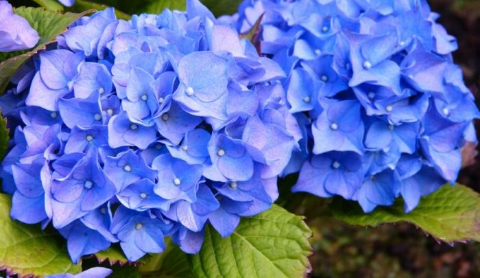 blaue Hortensie sorgt fr eine prchtige Farbe im Garten