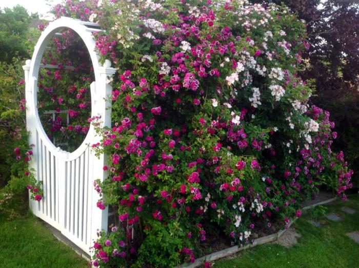 Rosenbogen mit Kletterrosen ein Genuss frs Auge und die