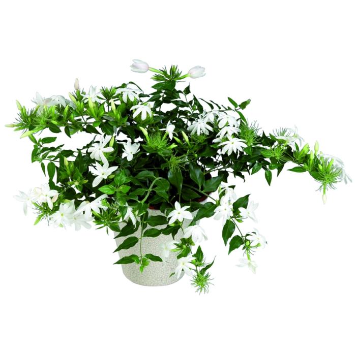 Zimmerpflanzen die Glck bringen