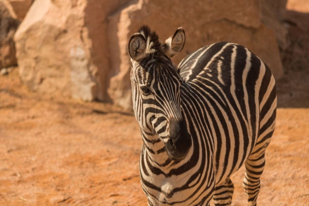 zoom torino zebra