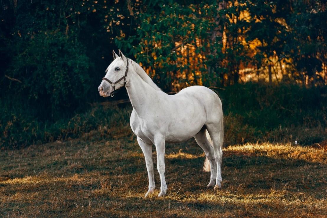 kladruber horse