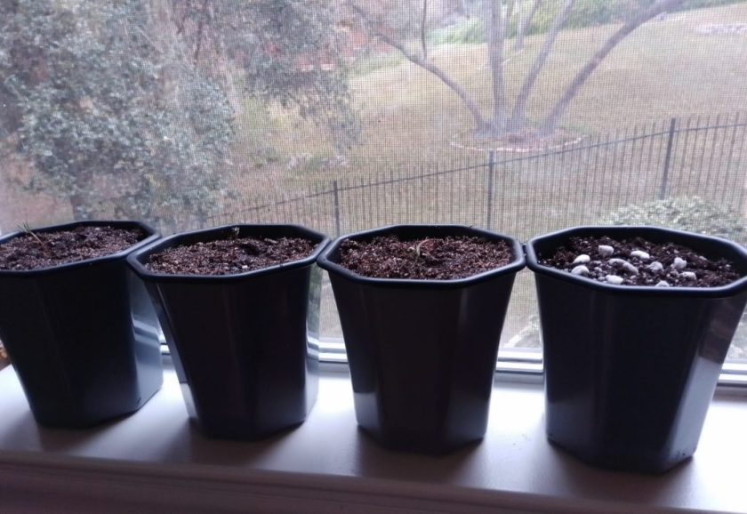 Giant Sequoias on the window sill