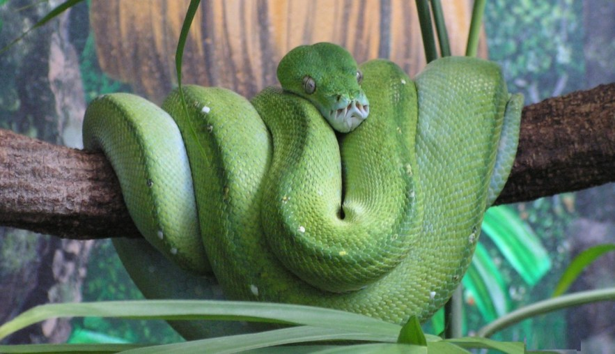 aufgerollte grüne Schlange ruht auf einem Ast