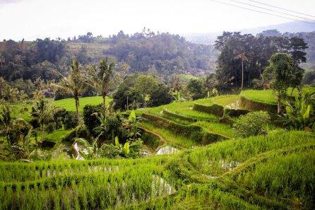 Grüne Reisterrasse bei Jatiluwih