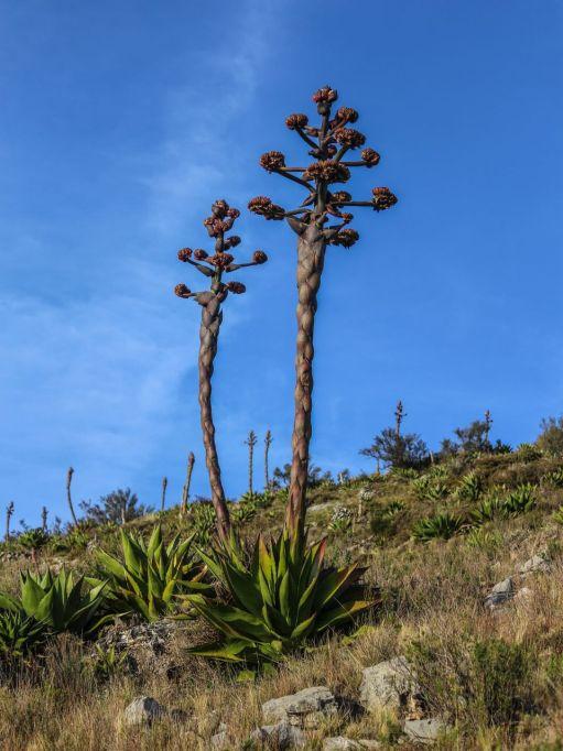Flores de Maguey in Real de Catorce