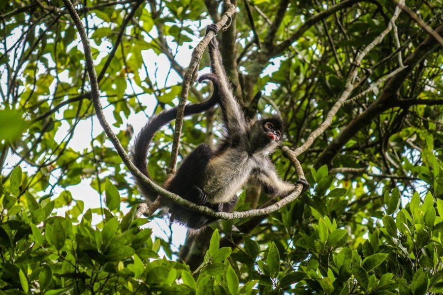 Affe in Tikal